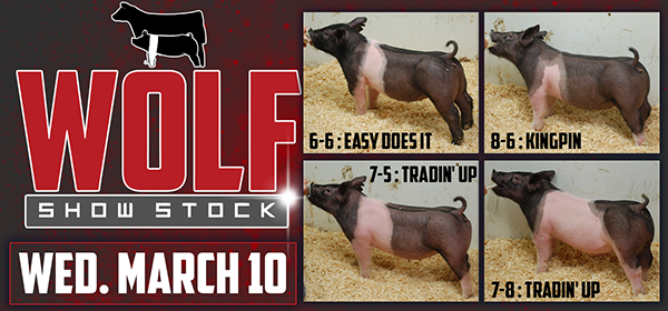 Wolf Show Stock