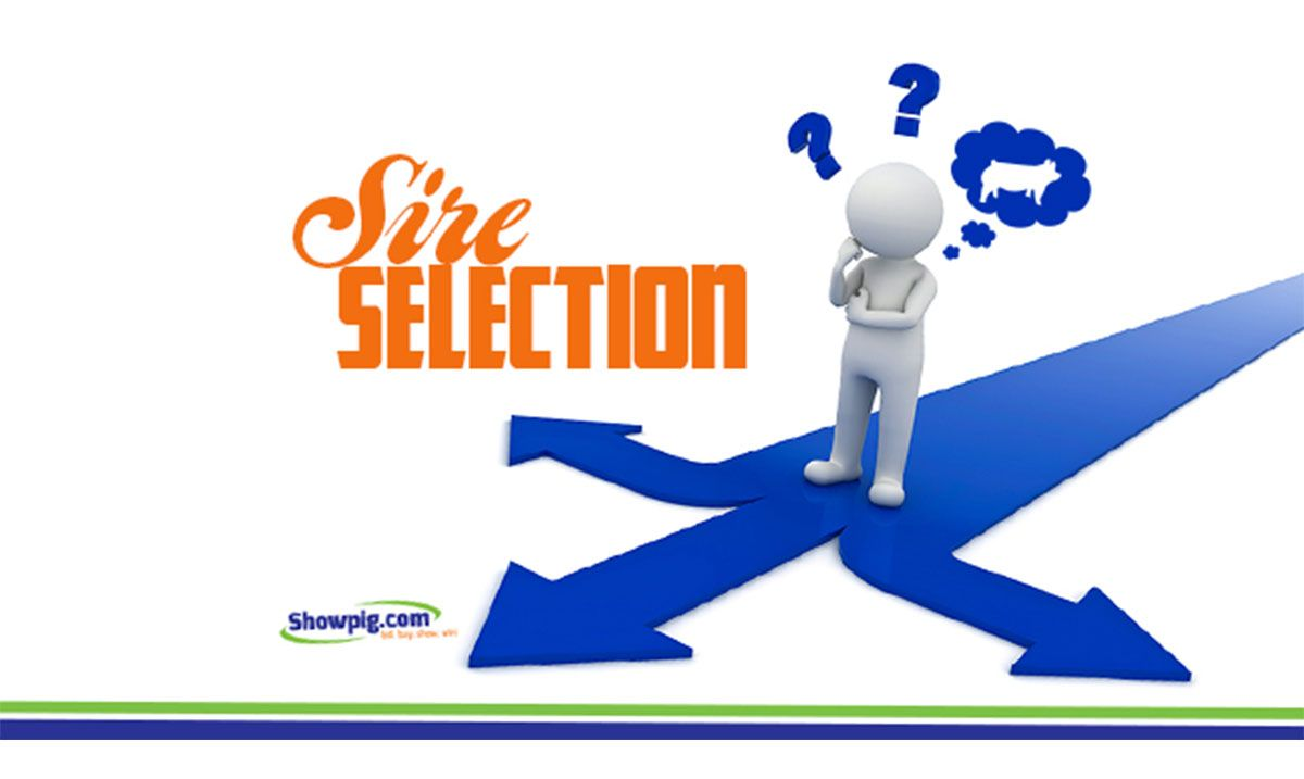 Featured image for the article titled Sire Selection: Begin with Good Sows and Be Picky