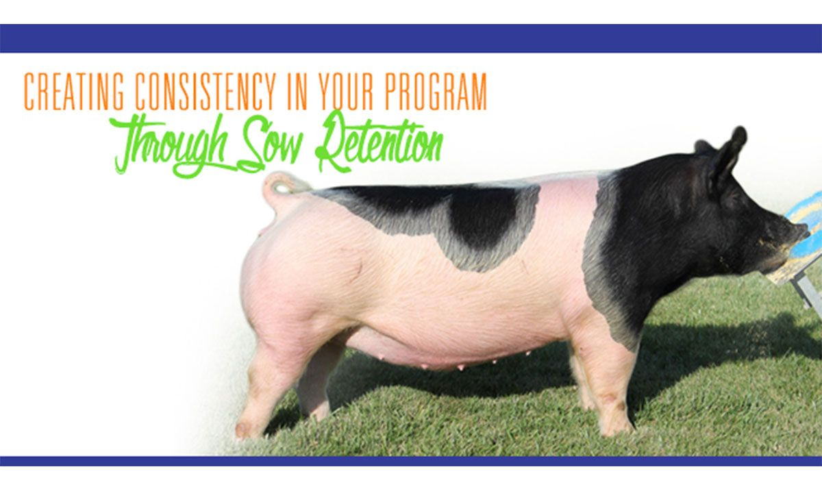 Featured image for the article titled Creating Consistency in Your Program Through Sow Retention