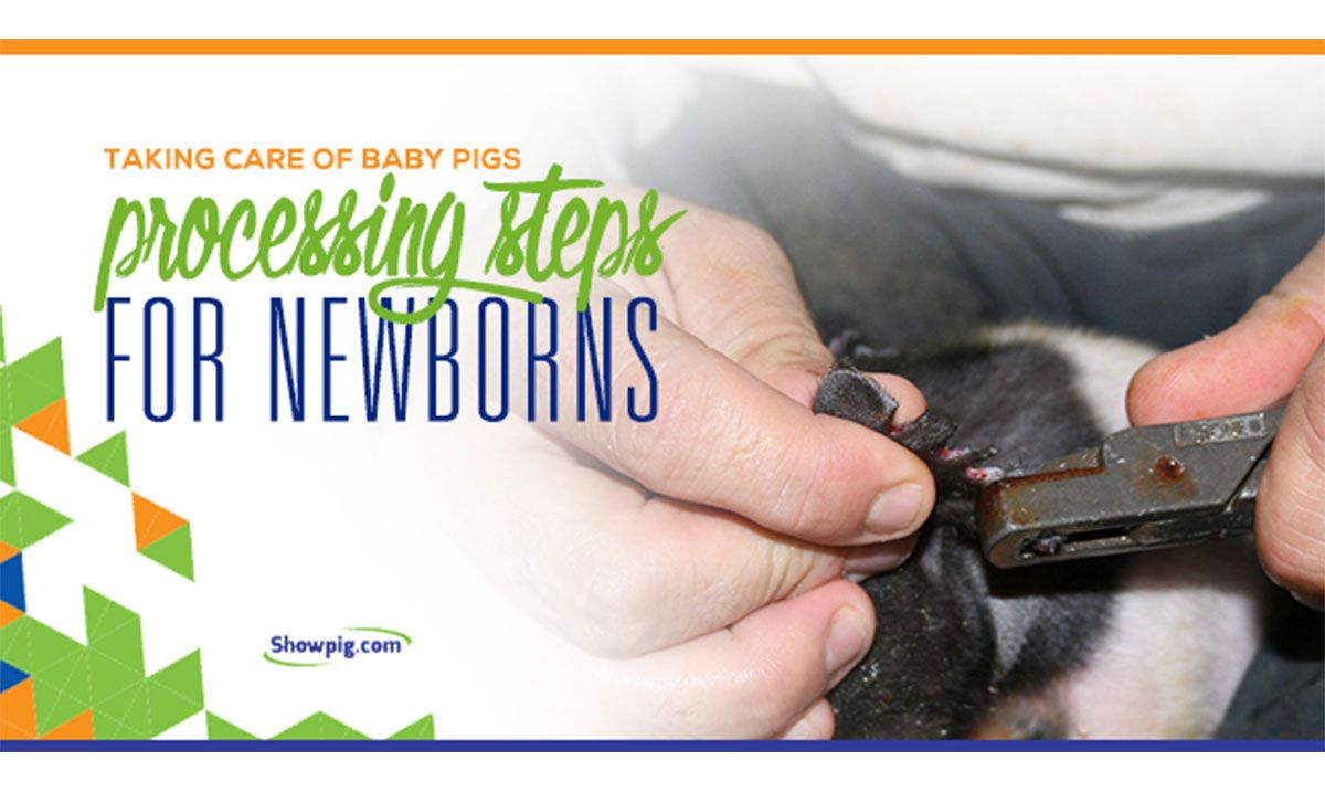 Featured image for the article titled Taking Care of Baby Pigs: Processing Steps for Newborns