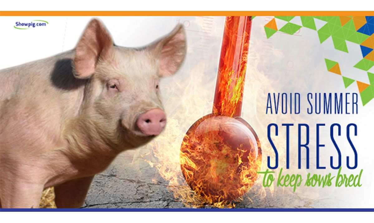 Featured image for the article titled Avoid Heat Stress to Keep Sows Bred