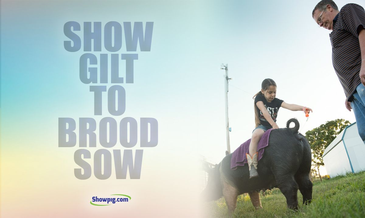 Featured image for the article titled Show Gilt to Brood Sow